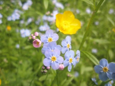 Alaska's State Flower, the Forget-me-not, found on a Ketchikan Hike