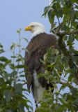 An eagle spotted during our Adventure Kart tour one of our Alaska Cruise excursions