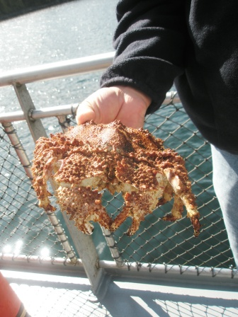A box crab caught during the Ketchikan excursions