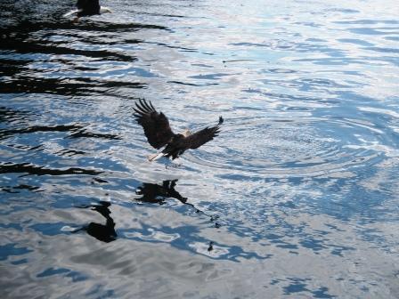 Eagles swooping all around the Aleutian Ballad Ketchikan Alaska cruise excursions