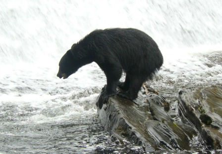 Bear Pictures at Neets Bay Bear Viewing in Alaska