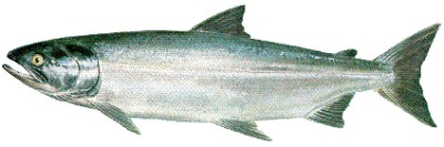 The Chum Salmon is one of the 5 Ketchikan Salmon