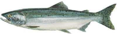 An Ocean Pink Salmon is one of the five salmon species found in Ketchikan Alaska