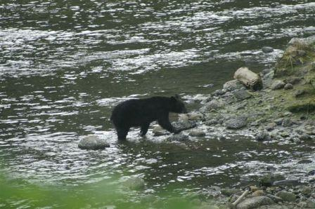 Photo of a black bear while on the Alaska Hummer Adventures tour