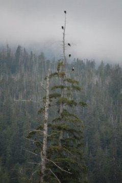 Eagles at Herring Cove in Ketchikan