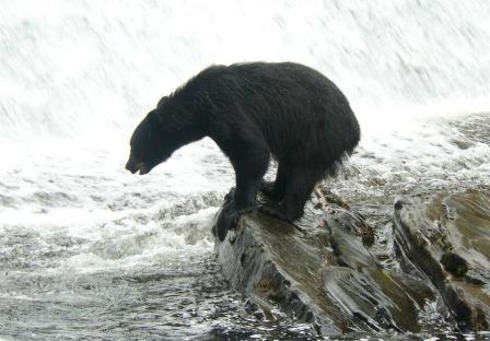 Bear Pictures at Neets Bay Bear Viewing in Alaska