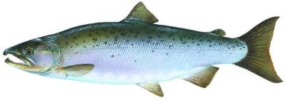Coho Salmon are just some of the Ketchikan Salmon found in Alaska!