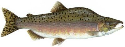 Pink Salmon is one of the five types of salmon found in Ketchikan Alaska