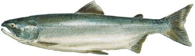 A Sockeye Salmon during the ocean salmon life cycle