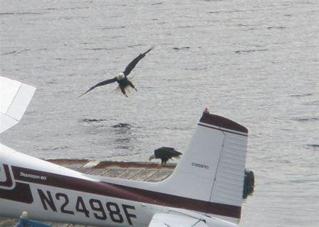Two eagles - photo taken during the Alaska Hummer Adventures tour in Ketchikan