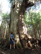 Amazing rainforest trees on the Rainbird Trail in Ketchikan