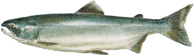 A Sockeye Salmon during the ocean salmon life cycle