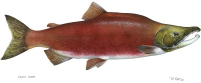 A Sockeye Salmon during the spawning salmon life cycle