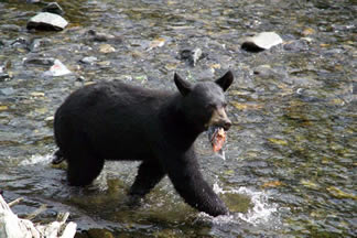 Black Bear Pictures at Traitors Cove in Ketchikan