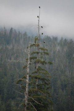 Eagles at Herring Cove in Ketchikan