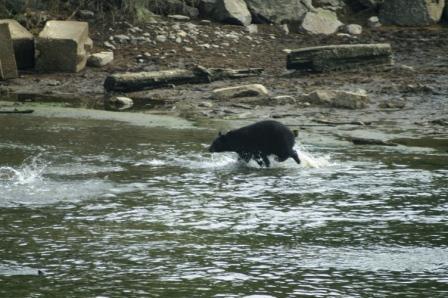 Black Bears at Herring Cove in Ketchikan