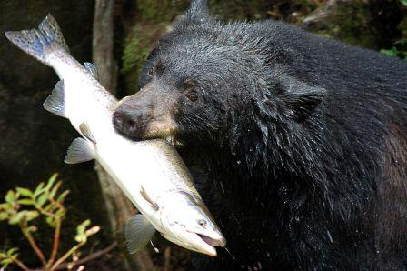 Bear Pictures and Bear Viewing in Alaska at Anan Wildlife Observatory