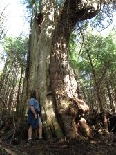 Amazing rainforest trees on the Rainbird Trail in Ketchikan