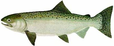 The Alaskan King Salmon is the largest of all Ketchikan Salmon